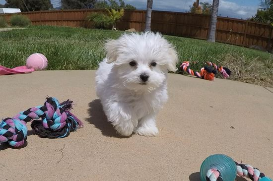 PERFECT Female maltese puppy! - 11 week old Maltese