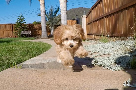 Super Cute Female CavaPoo Puppy! - 33 week old Cava Poo