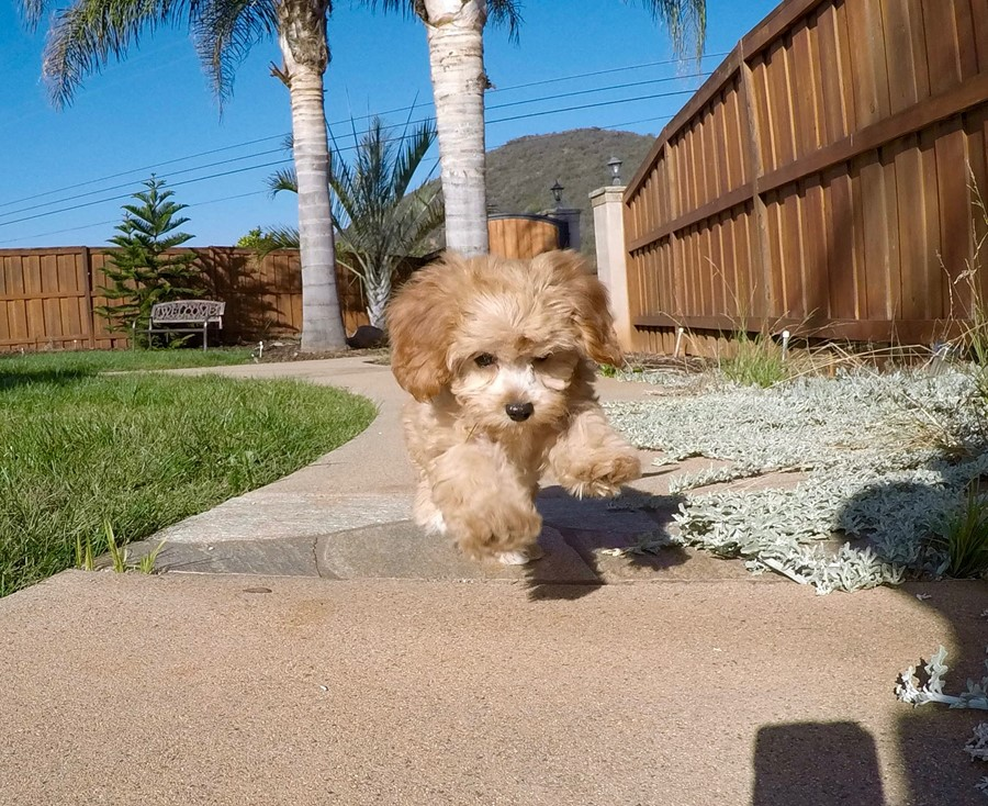 Super Cute Female CavaPoo Puppy! 1