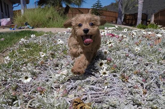 PERFECT female Cavapoo puppy!! - 10 week old Cava Poo