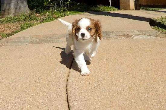 Stunning male ACA Cavalier puppy !! - 13 week old Cavalier King Charles Spaniel