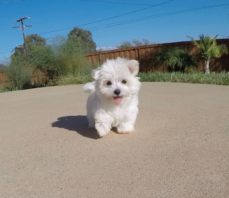 SUPER TINY MaltiPoo Puppy!! 1