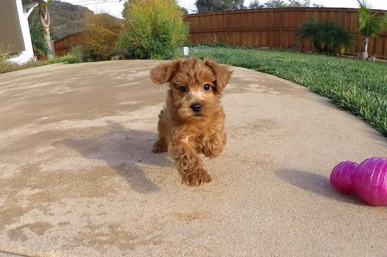 Super cute Yorkipoo designer puppy !! - 10 week old Yorkie Poo