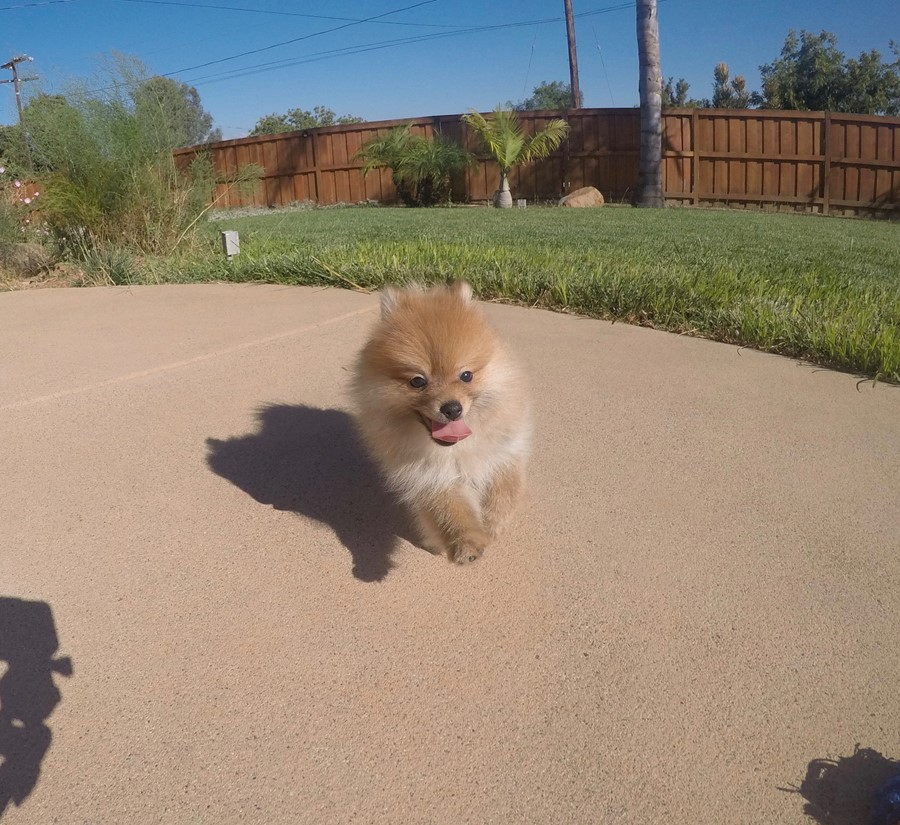 perfect male ACA Pomeranian puppy!! 7