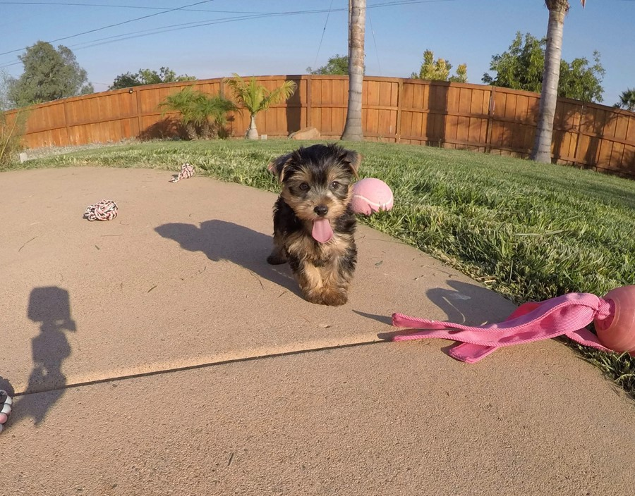 PERFECT female AKC Yorkie puppy! 5