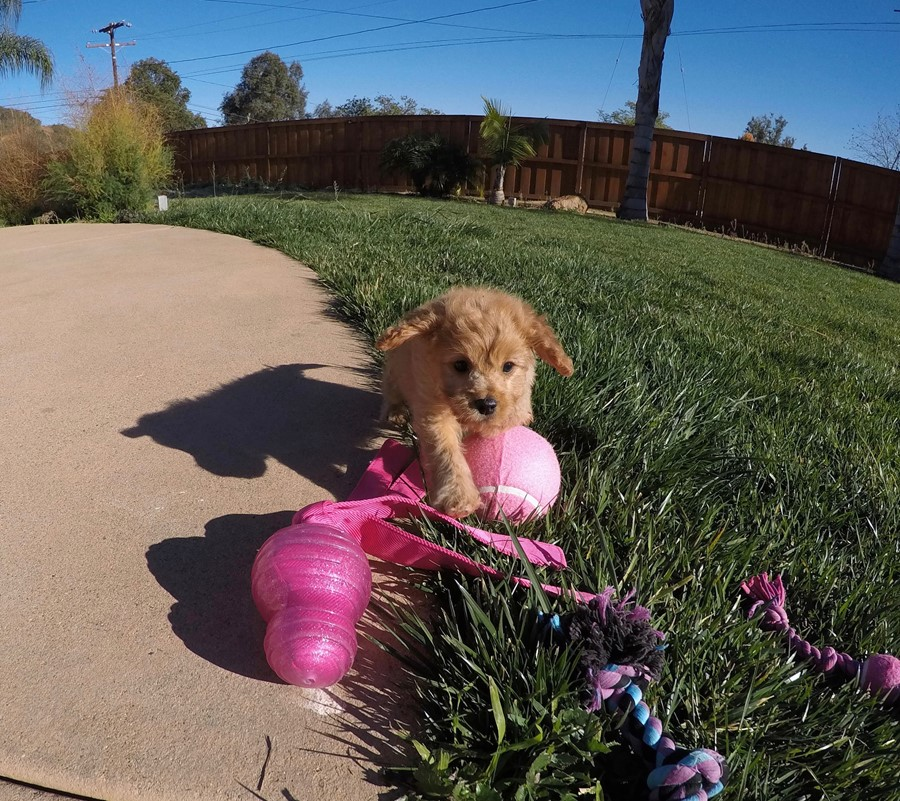 Stunning male Cavapoo puppy !! 10