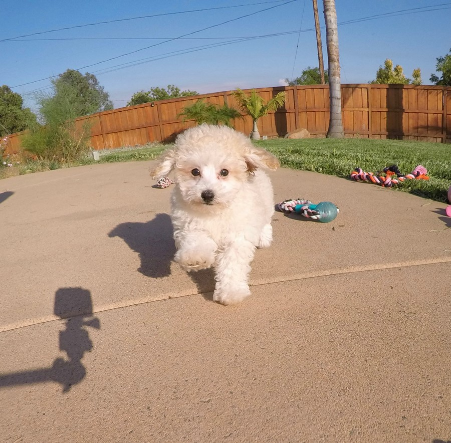 Adorable MaltiPoo designer puppy! 7