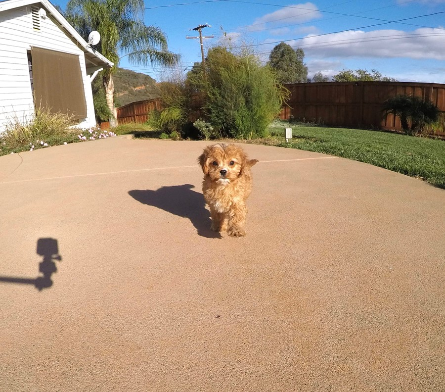 Male Cavapoo designer puppy !! 6