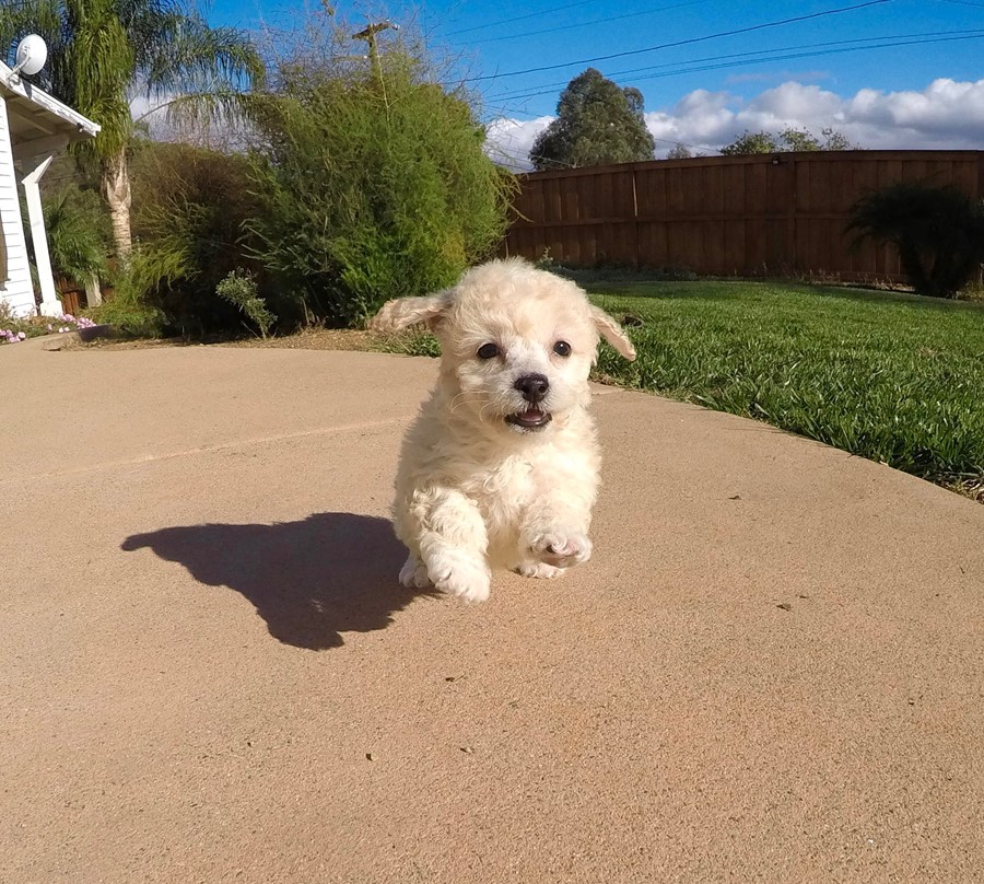 TINY Female Cavapoo Puppy!! 1