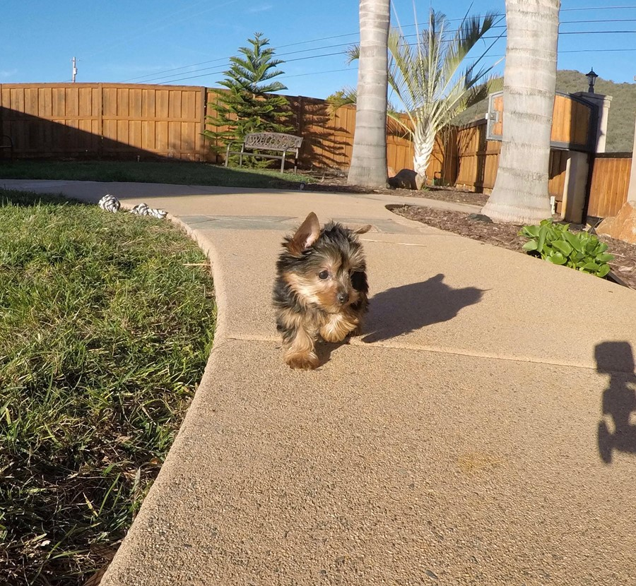 PERFECT male ACA Yorkie puppy!! 4