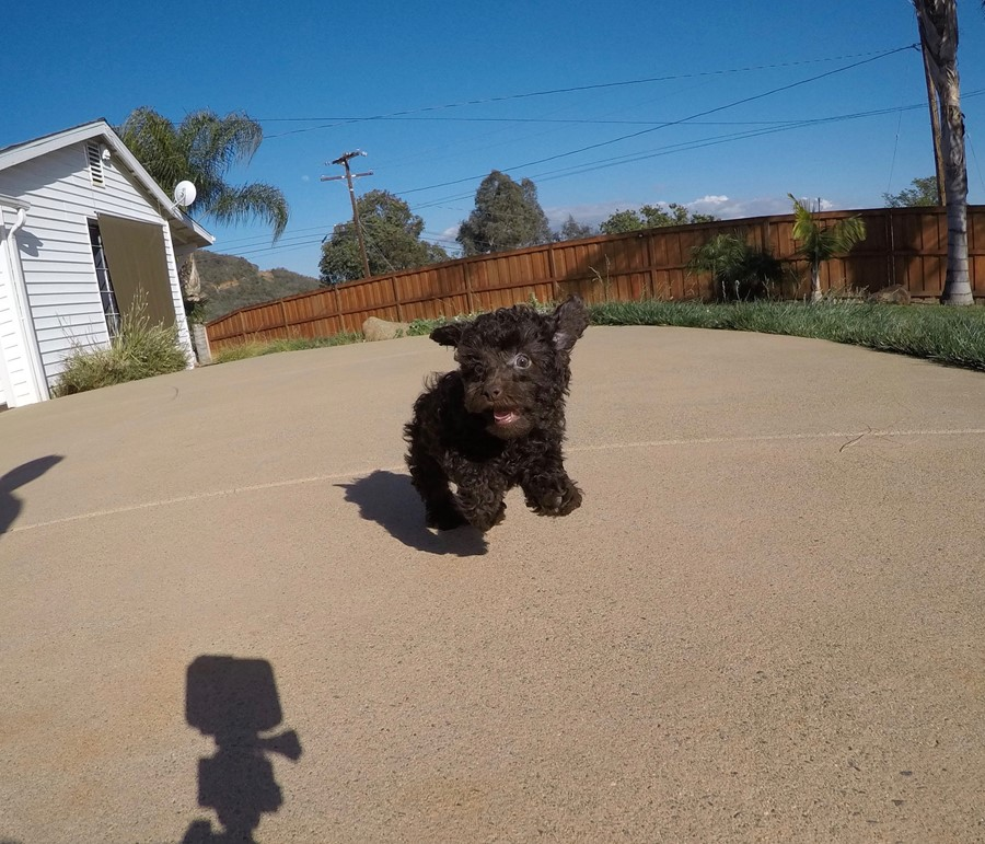 Tiny AKC Toy Poodle puppy !! 8