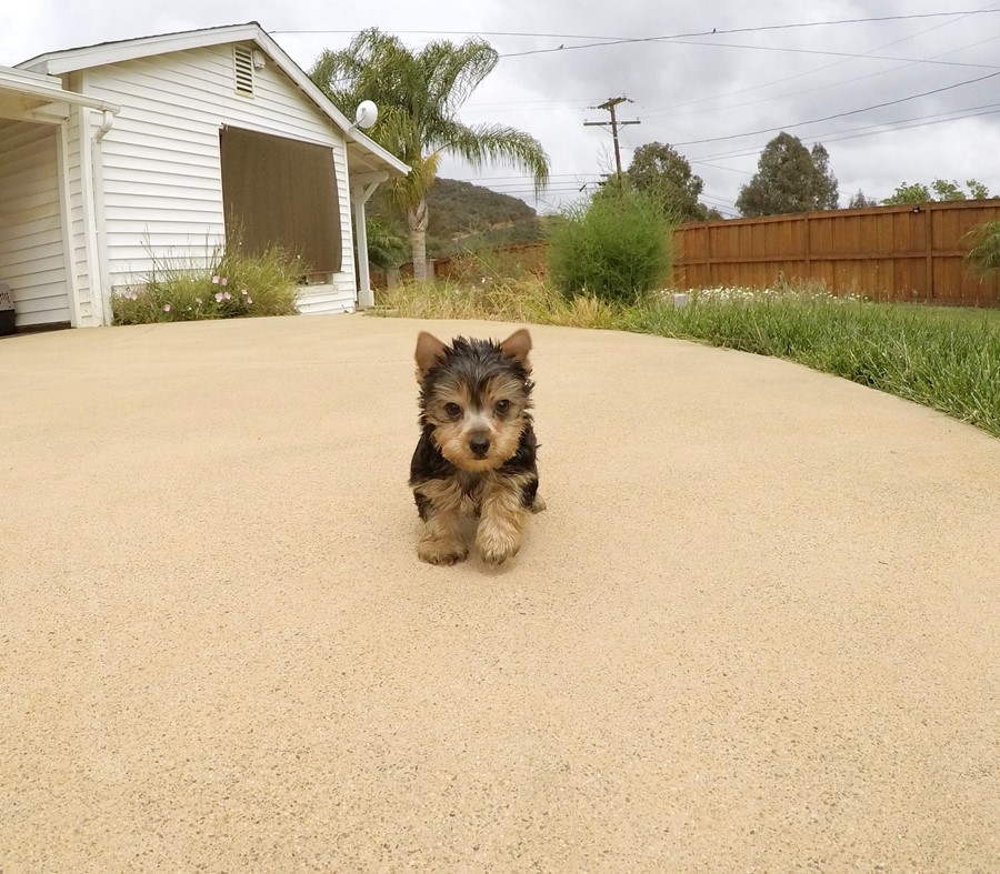 TINY Female AKC Yorkie  Puppy !! 2