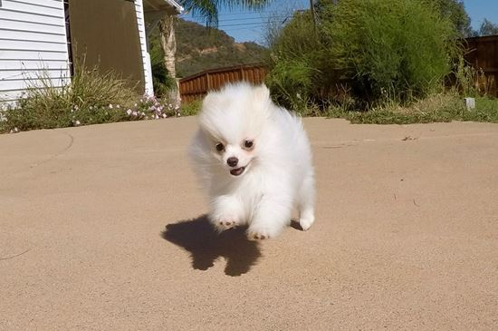 pomeranian san diego pomeranian puppies for sale in california pom pups for 2020