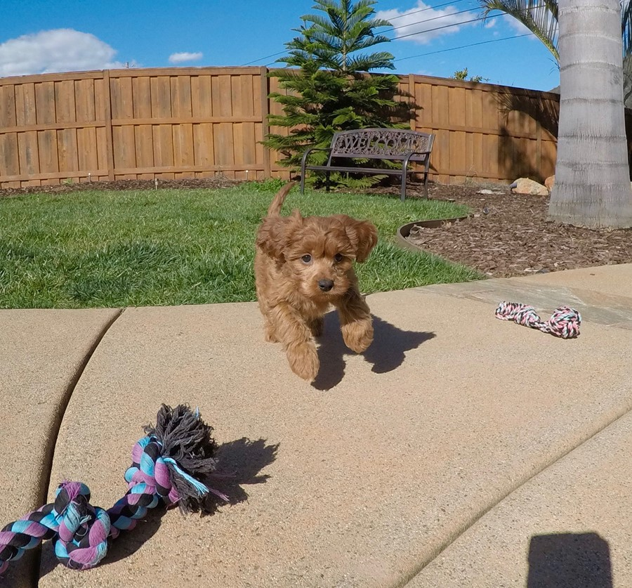 PERFECT CavaPoo designer puppy! 2