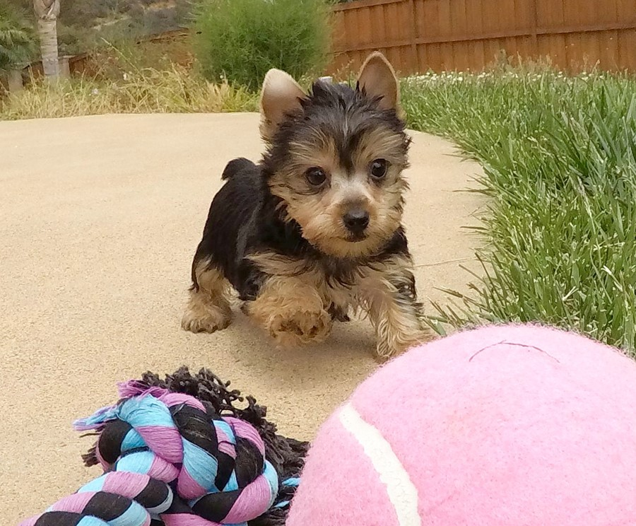 TINY Female AKC Yorkie  Puppy !! 7