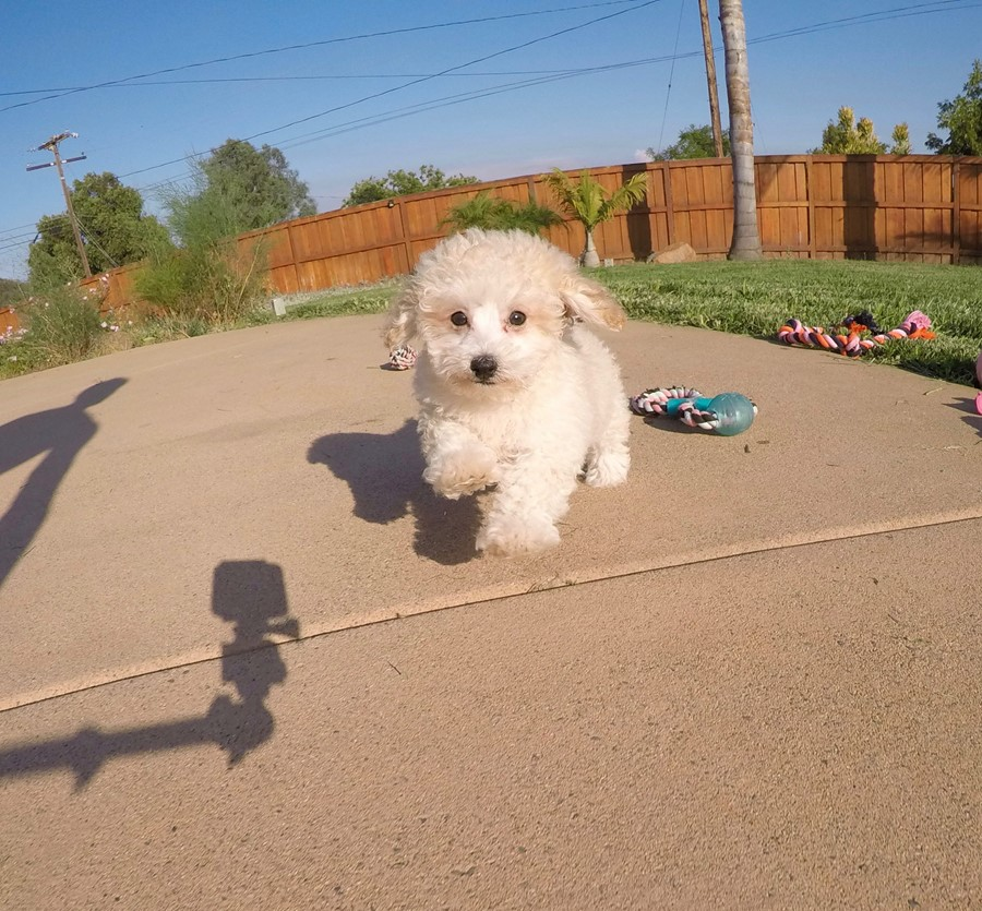 Adorable MaltiPoo designer puppy! 6