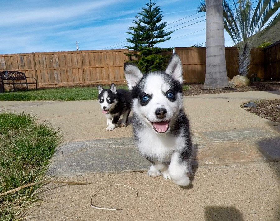 BLUE EYED female Pomsky puppy! 6
