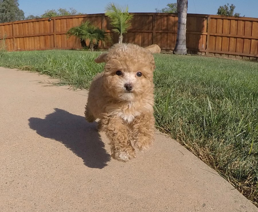 Tiny Male CavaPoo Puppy !! 11