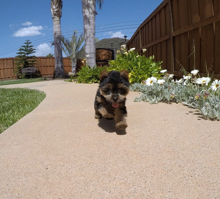 Adorable male ACA Yorkie puppy!! 3