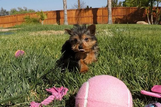TINY Female ACA Yorkie puppy !! - 47 week old Yorkshire Terrier