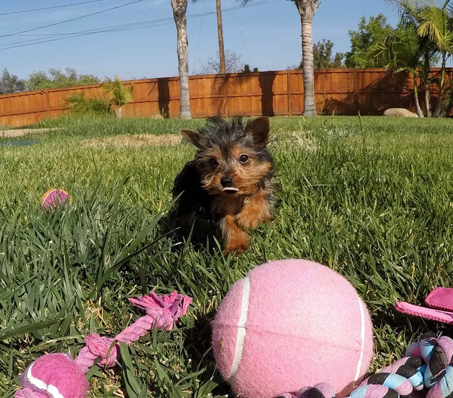 TINY Female ACA Yorkie puppy !! 1