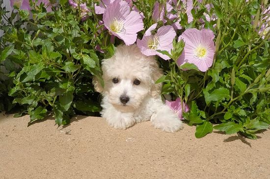 Adorable female MaltiPoo puppy !! - 10 week old malti poo