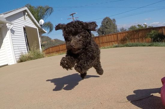 Tiny AKC Toy Poodle puppy !! - 13 week old Toy Poodle