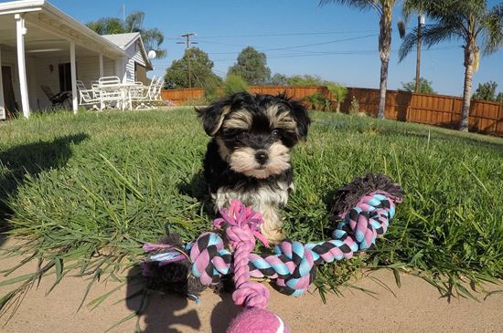 Adorable Female Morkie Puppy !! - 10 week old Morkie