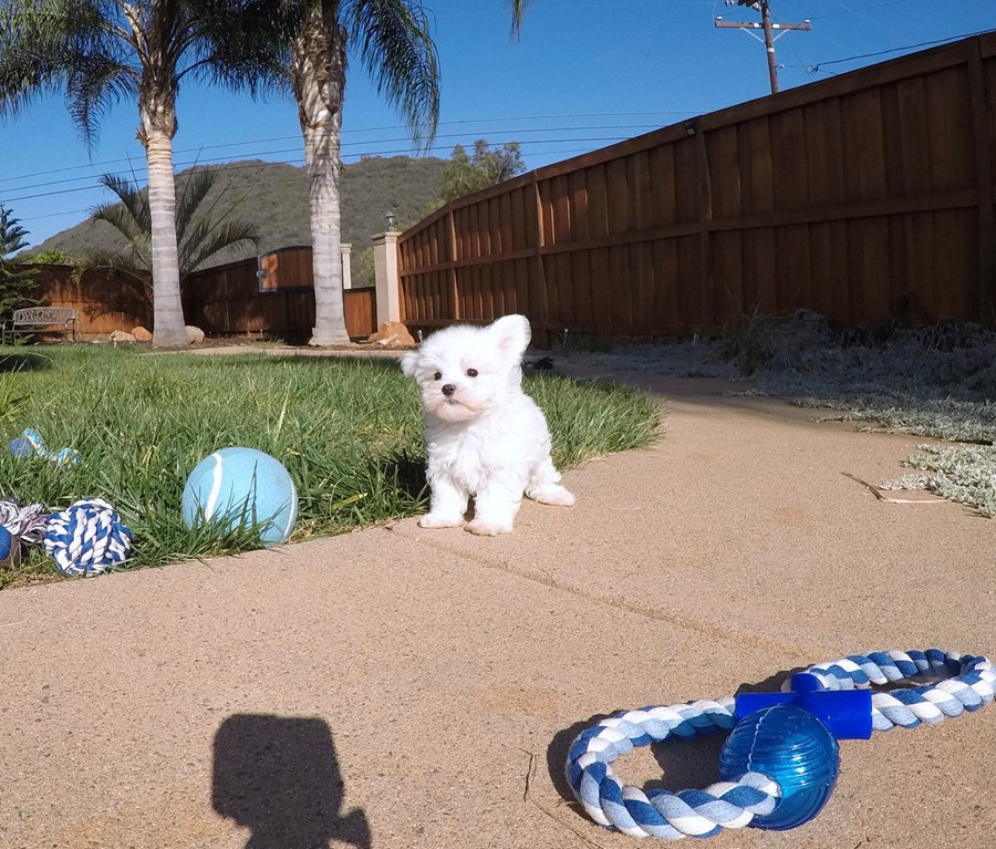 PERFECT Male ACA  Maltese puppy!! 7