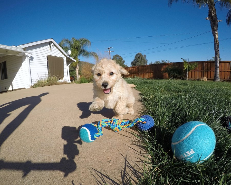 Male Mini Goldendoodle puppy !! 9