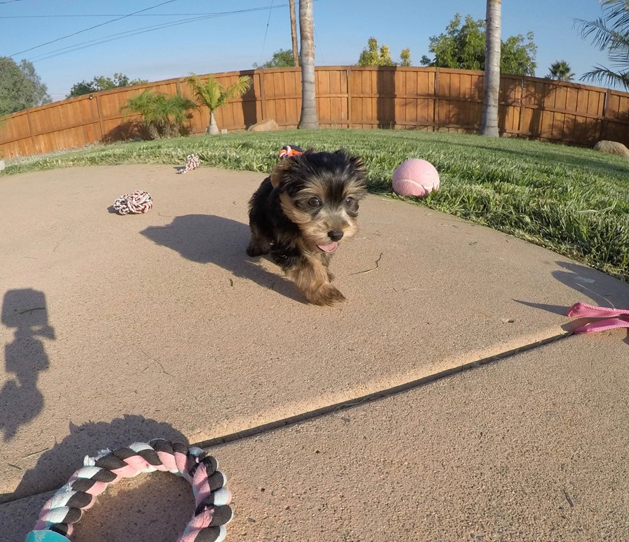 PERFECT female AKC Yorkie puppy! 7