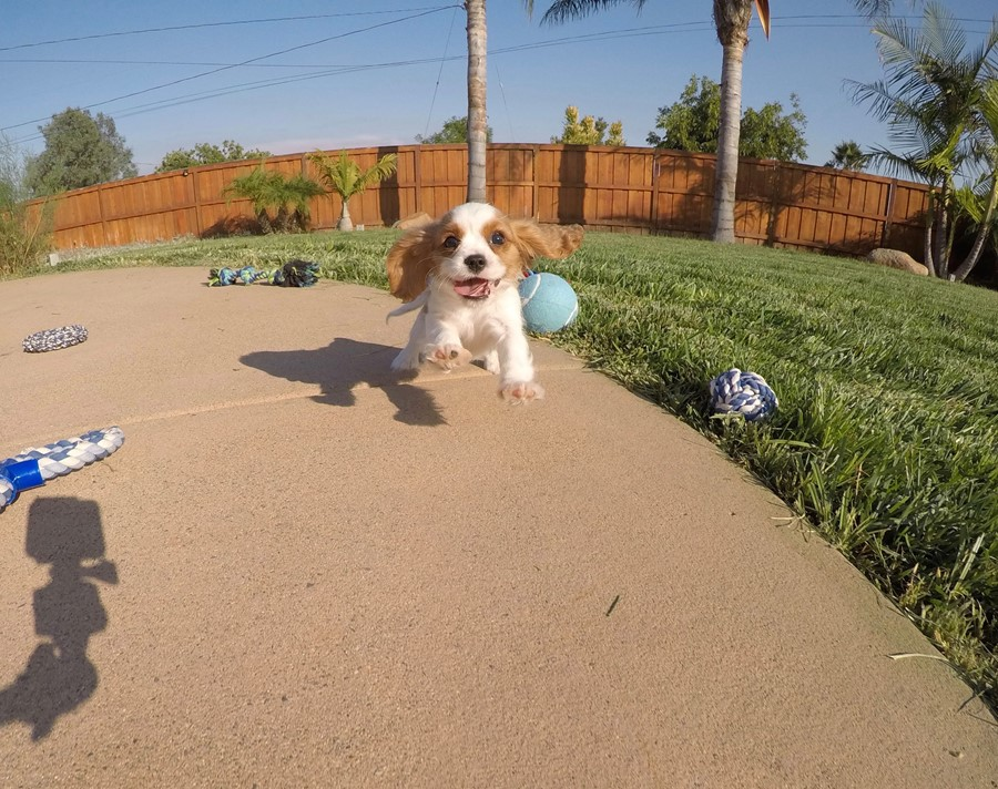 PERFECT male AKC Cavalier puppy! 6