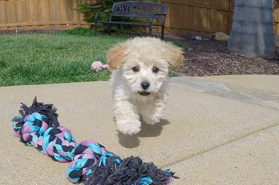 Adorable Maltipoo puppy!! - 9 week old malti poo
