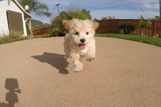 Male MaltiPoo designer puppy ! - 9 week old malti poo