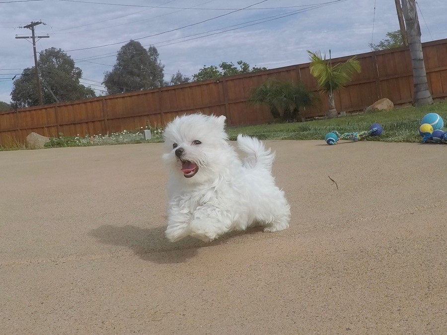 Super tiny male ACA Maltese puppy !! 7