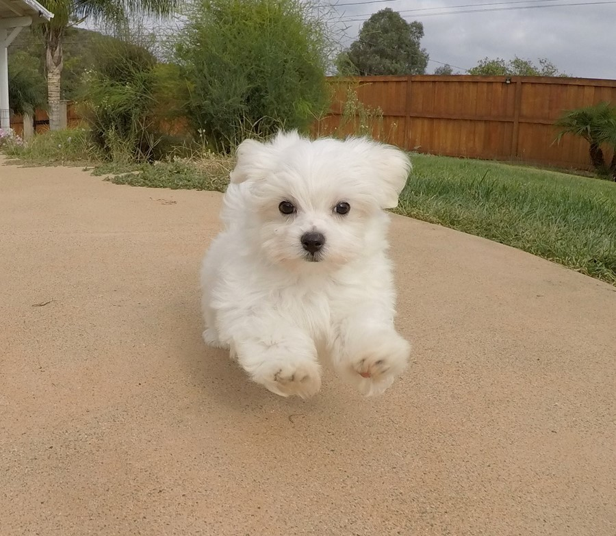 Super Cute ACA Maltese Puppy !! 10