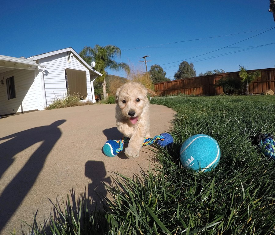 Male Mini Goldendoodle puppy !! 8