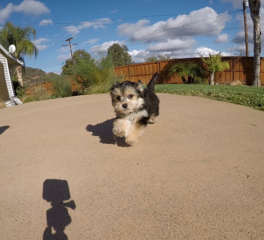 Super cute female Morkie Puppy!! 3