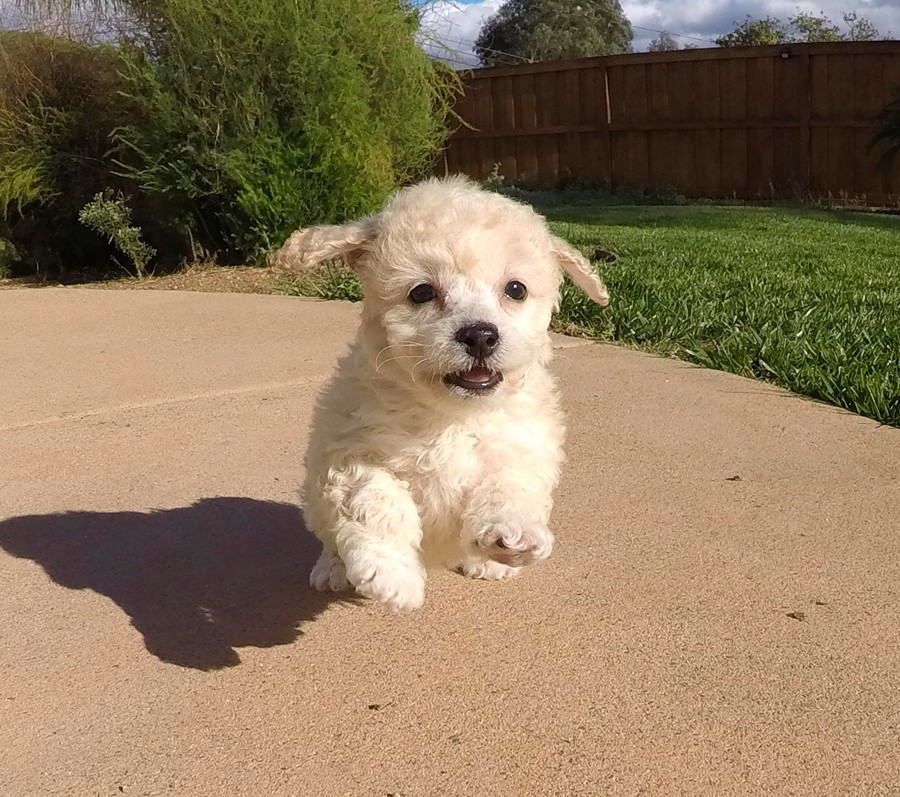 TINY Female Cavapoo Puppy!! 10