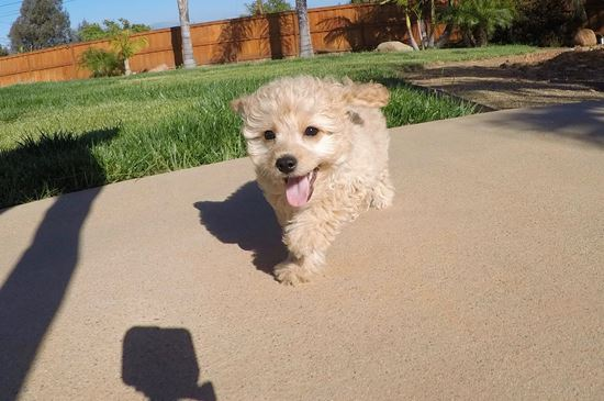 Adorable male CavaPoo puppy! - 15 week old Cava Poo