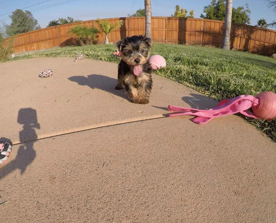 PERFECT female AKC Yorkie puppy! 4