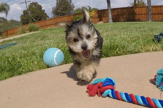 Adorable Morkie designer puppy!! - 13 week old Morkie