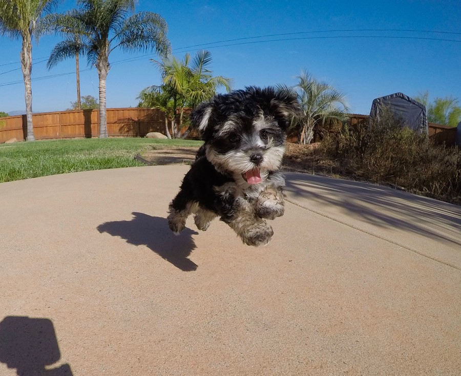TINY male Morkie puppy !! 9