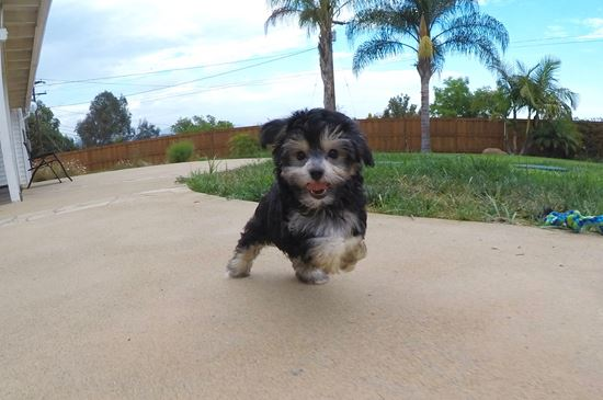 Female YorkiePoo designer puppy! - 11 week old Yorkie Poo