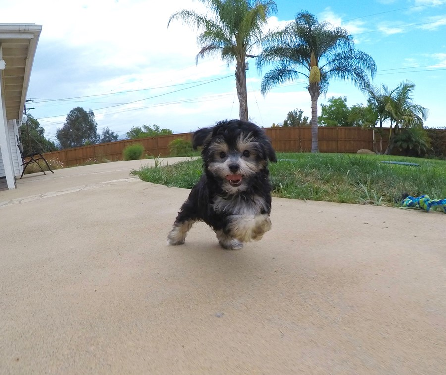 Female YorkiePoo designer puppy! 1