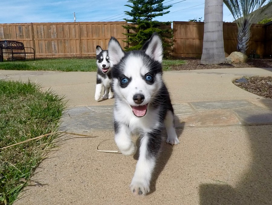 BLUE EYED female Pomsky puppy! 1