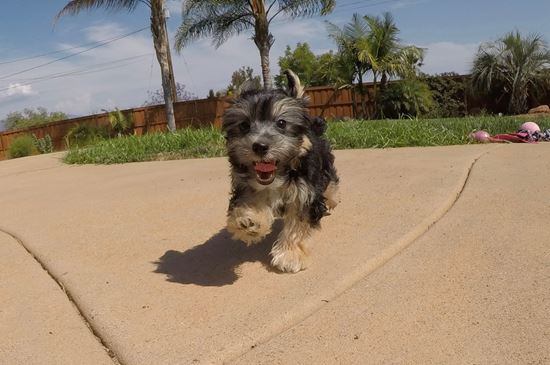 Cute Female Morkie Designer Puppy!! - 13 week old Morkie