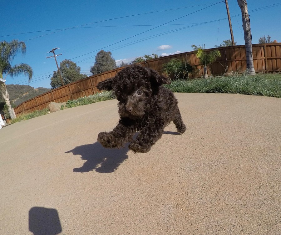 Tiny AKC Toy Poodle puppy !! 4