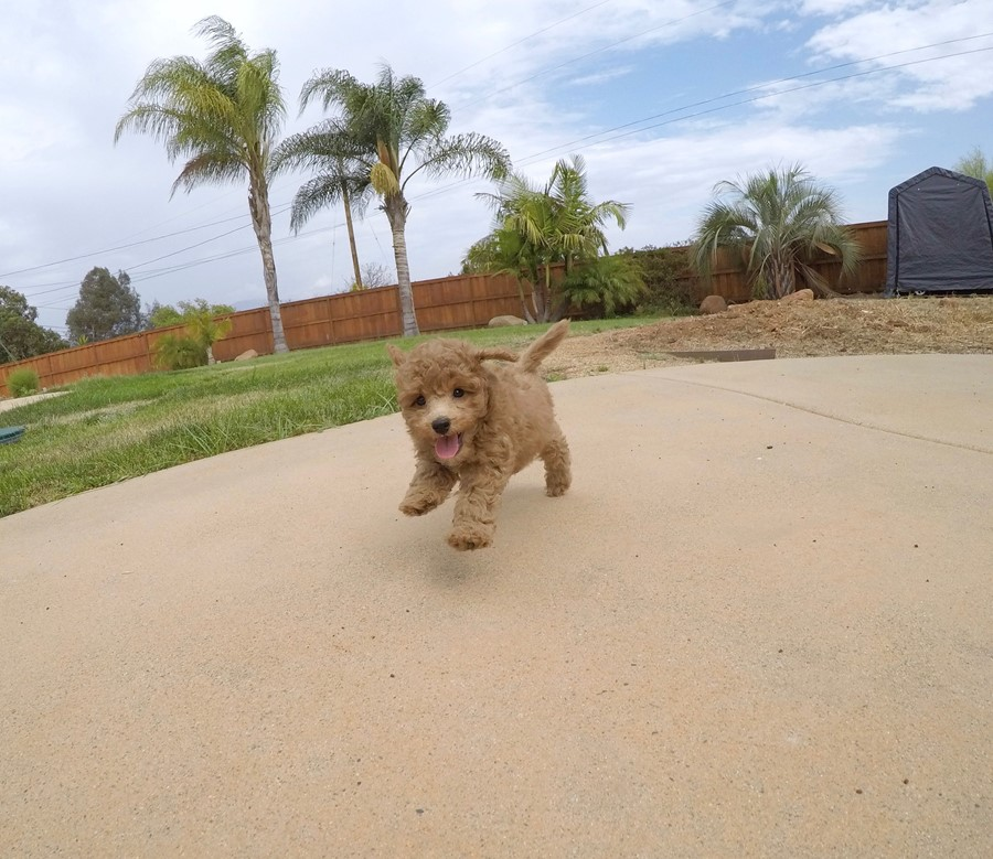 Adorable female CavaPoo puppy! 7
