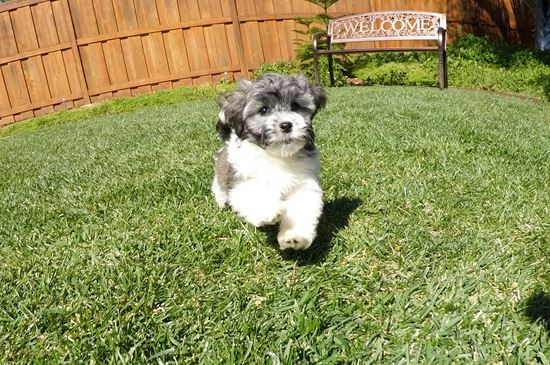 Male AKC Havanese puppy !! - 12 week old Havanese